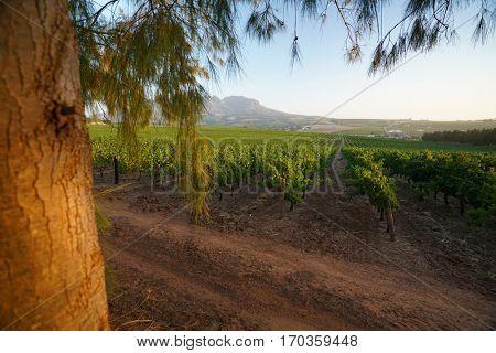 Stellenbosch vineyards, South Africa