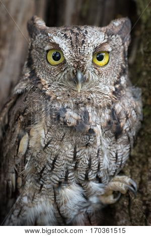 A very close up portrait of an eastern screech owl perched in a tree staring forward with bright yellow eyes
