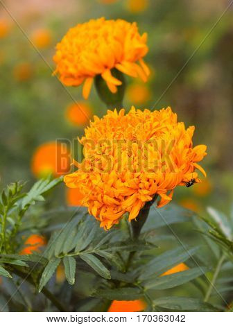 marigold worship for Buddha and buddhist sabbath.