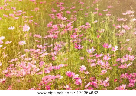 sweet dreamy and de-focused pink Cosmos meadow with sun flare in sunny day