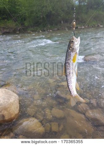 Trout on a hook. To catch trout on the mountain river.