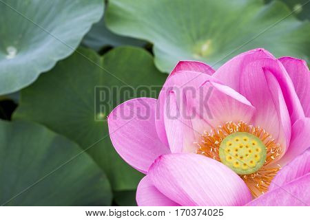 Just started blooming pink lotus flower over green leaves