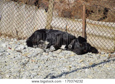Black Dog On A Chain Resting Under A Fence