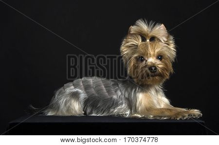 Young dog breed Yorkshire Terrier. Fashionable haircut. Studio photography.
