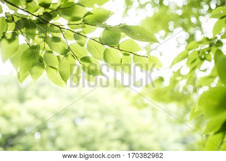 Fresh green carpinus tschonoskii leaves with branch growing in upper sideways