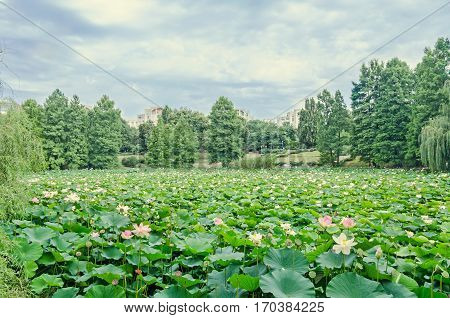 Pink Nuphar Flowers, Green Field On Lake, Water-lily, Pond-lily, Spatterdock, Nelumbo Nucifera, Also