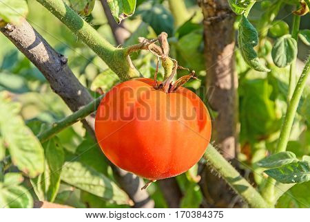 Red Tomato, Edible Red Fruit, Berry Of The Nightshade Solanum Lycopersicum, Commonly Known As A Toma