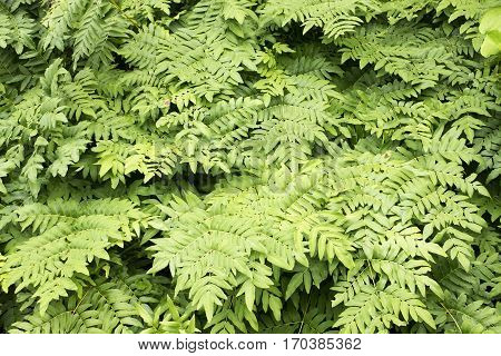 Ground covered fern leaves(Osmunda japonica) in summer