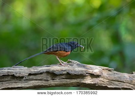 Male White-rumped shama passerine bird in black and orange chestnut belly with fresh worm in its beak on wooden log in forest, Thailand, Asia (Copsychus malabaricus)