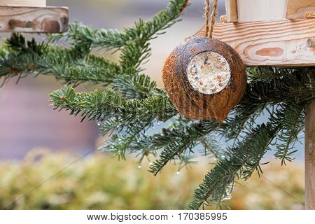 Filled Coconut Shell suet treats made of fat, sunflower seeds hanging at bird feeder decorated with pine tree branches during winter in Europe