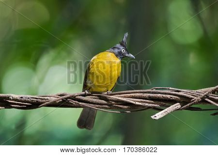 Black-crested bulbul, passerine bird in bright yellow with black crest perching on dried vine with blurred green forest background (Pycnonotus flaviventris)