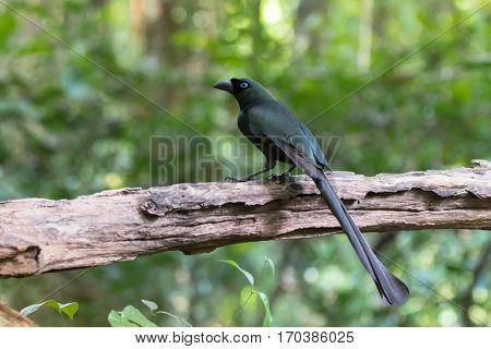 Racket-tailed treepie bird in black with metallic green and turquoise blue eye perching on wooden log in forest, Thailand, Asia (Crypsirina temia)