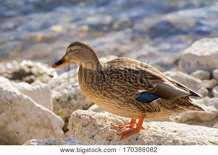 Female mallard, mottled wild duck, with brown speckled plumage and a patch of white blue and black standing on rock near lake (Anas fulvigula)