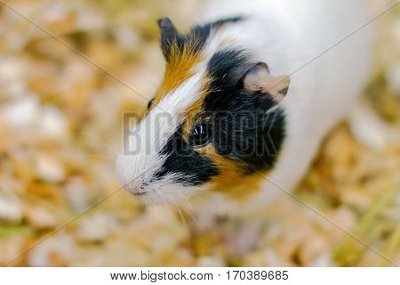 image little pet rodent guinea pig in a cage