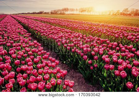 rows of pink tulips in Holland. Beauty world.