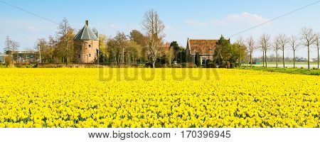Field with yellow daffodil flowers blooming in spring and dutch house in Holland
