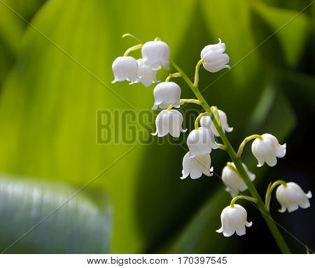 Lily of the valley in the forest. Lily-of-the-valley.Convallaria majalis.Spring background. Floral background.Selective focus.