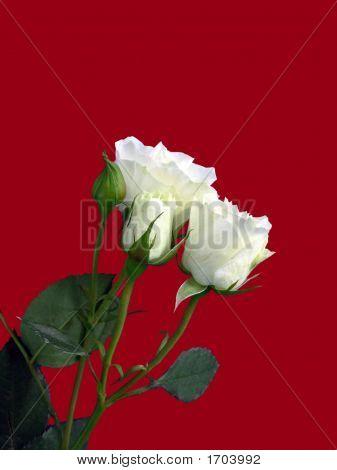 White Roses On Red