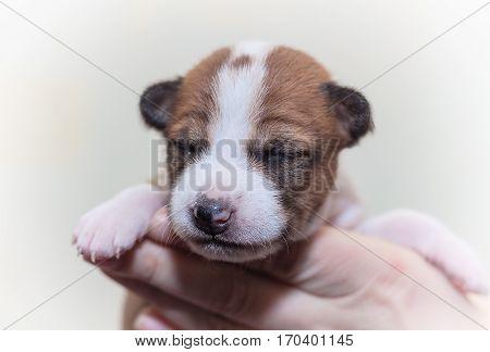 beautiful, cute puppy dogs not barking African dog breed basenji