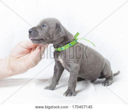 Great Dane purebred puppy on a white background