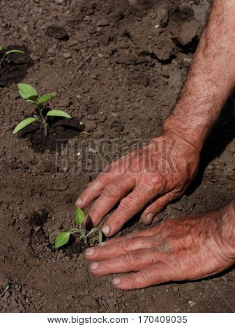 Man transplanting tomato seedlings in springtime