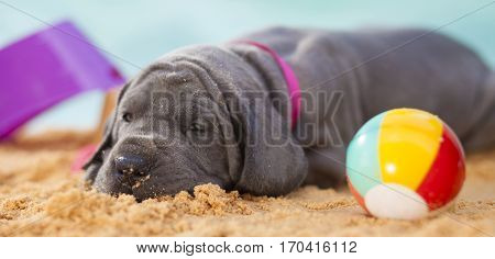 Purebred Great Dane puppy ready to sleep on the sand