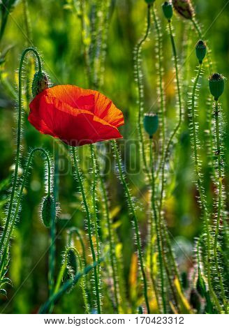 one big red poppy flower in the green wheat field in summer