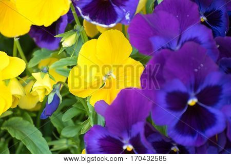 A close up viola tricolor pansy flower