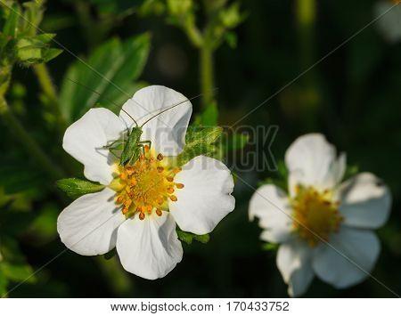 Macro of tiny grasshopper larva resting on strawberry flower at sunny summer day