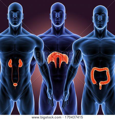 3d illustration human body organs of a human body part.