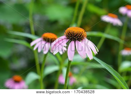 Echinacea purpurea and purple coneflowers flower bed with copy space. Echinacea purpurea (Asteraceae) is a perennial medicinal herb with important immunostimulatory and anti-inflammatory properties.