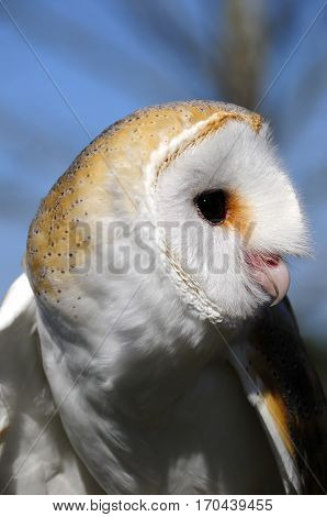 Portrait of a Barn Owl with blue in the background