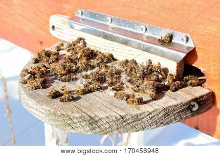 Dead honey bees - poisoned by pesticides and GMOs.
