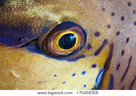 Close up of a bignose unicornfish, Naso vlamingii, with parasitic isopod on face.