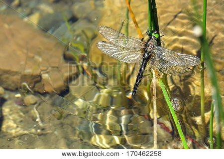Colorful Dragonfly In The Water. Aran Valley
