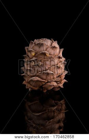 Pine cones on a black background. Pine nut.