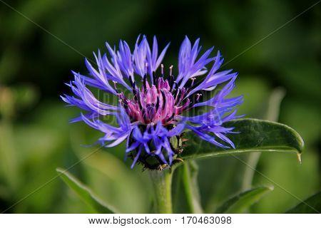 A bright blue cornflower shows her filigree petals