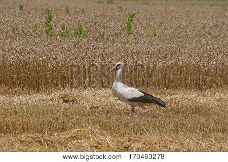 DAVOR, CROATIA - JUNE 26: Stork in a field of cut wheat in Davor, Slavonia, Croatia on June 26, 2010.