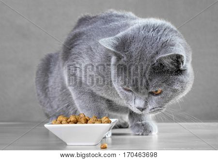 British Blue cat eats cat food.