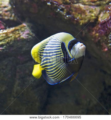 Adult Emperor Angelfish (Pomacanthus imperator) in aquarium