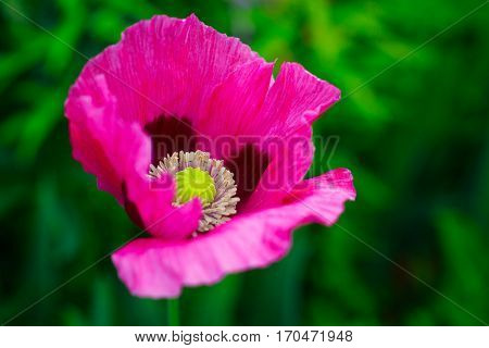 Oriental poppy growing in the summer garden. Botanical name is Papaver Orientale