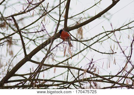 Beautiful red bird Eurasian common Bulfinch Pyrrhula Pyrrhula sitting on tree branches in winter city park, stunning bright winter bird
