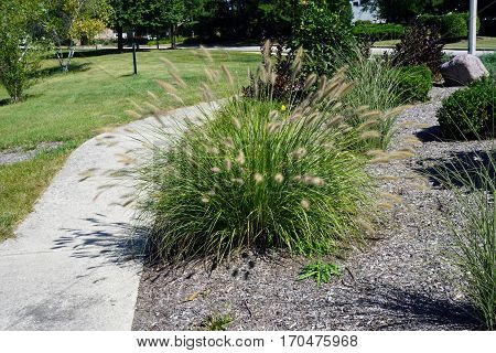 Pennisetum alopecuroides (known as Chinese pennisetum, Chinese fountaingrass, dwarf fountain grass, foxtail fountain grass, swamp foxtail grass) grows in a garden adjacent to a sidewalk in Joliet, Illinois