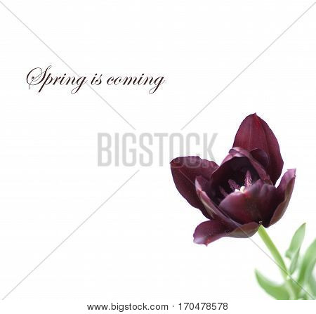 Single purple tulip with leaves on white background and spring is coming
