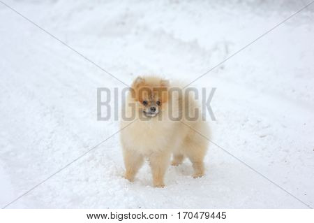 Portrait of cream-sable german spitz walking on snow
