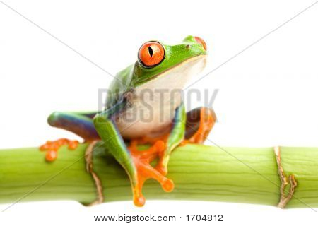 Red-Eyed Tree Frog On Bamboo