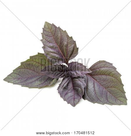 Close up studio shot of fresh red basil herb leaves isolated on white background. Purple Dark Opal Basil.