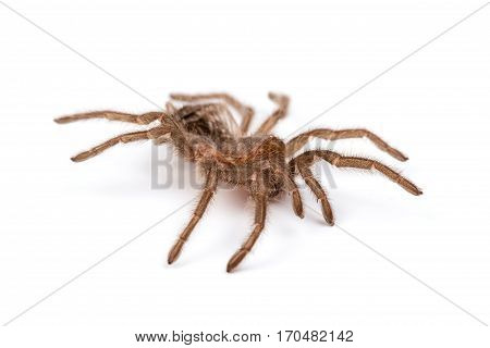 Isolated photo of brown spider's pelt on white background