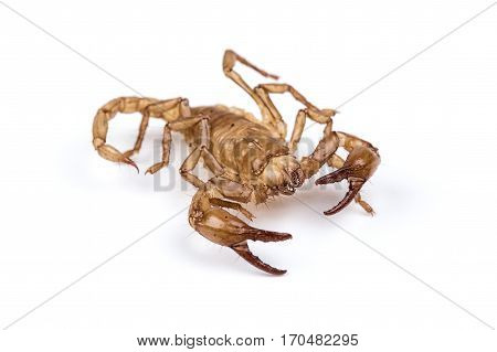 Isolated photo of brown scorpion on white background