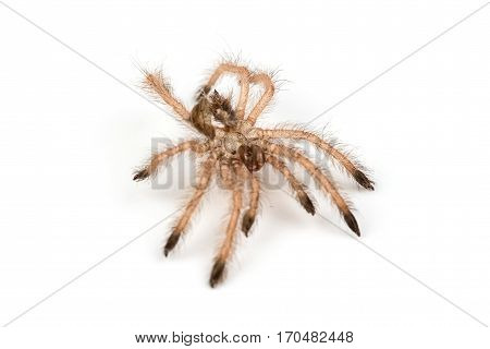 Isolated shoot of brown spider's molt on white background
